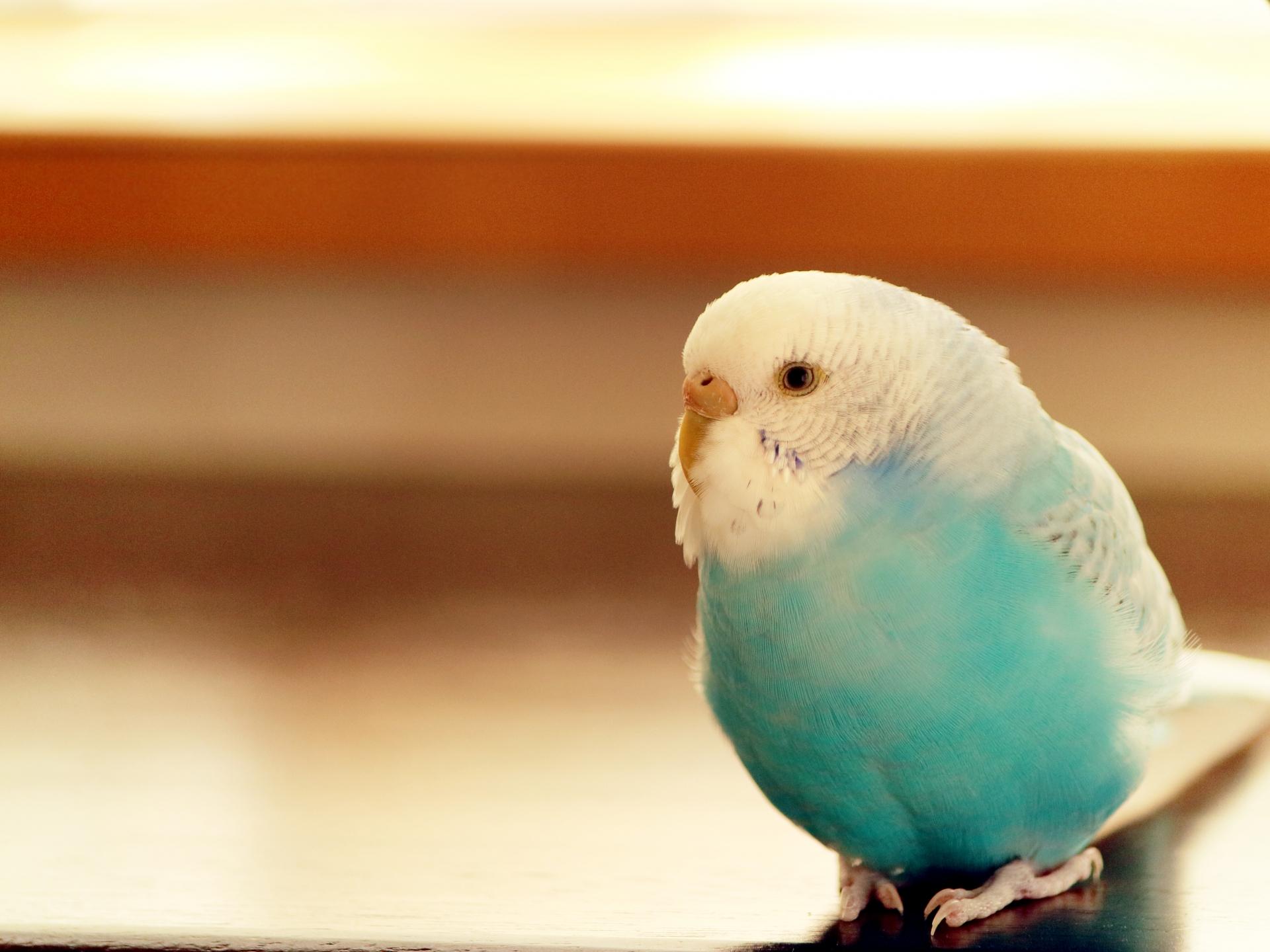 ペットとして飼いたい!おすすめの人気の鳥とは