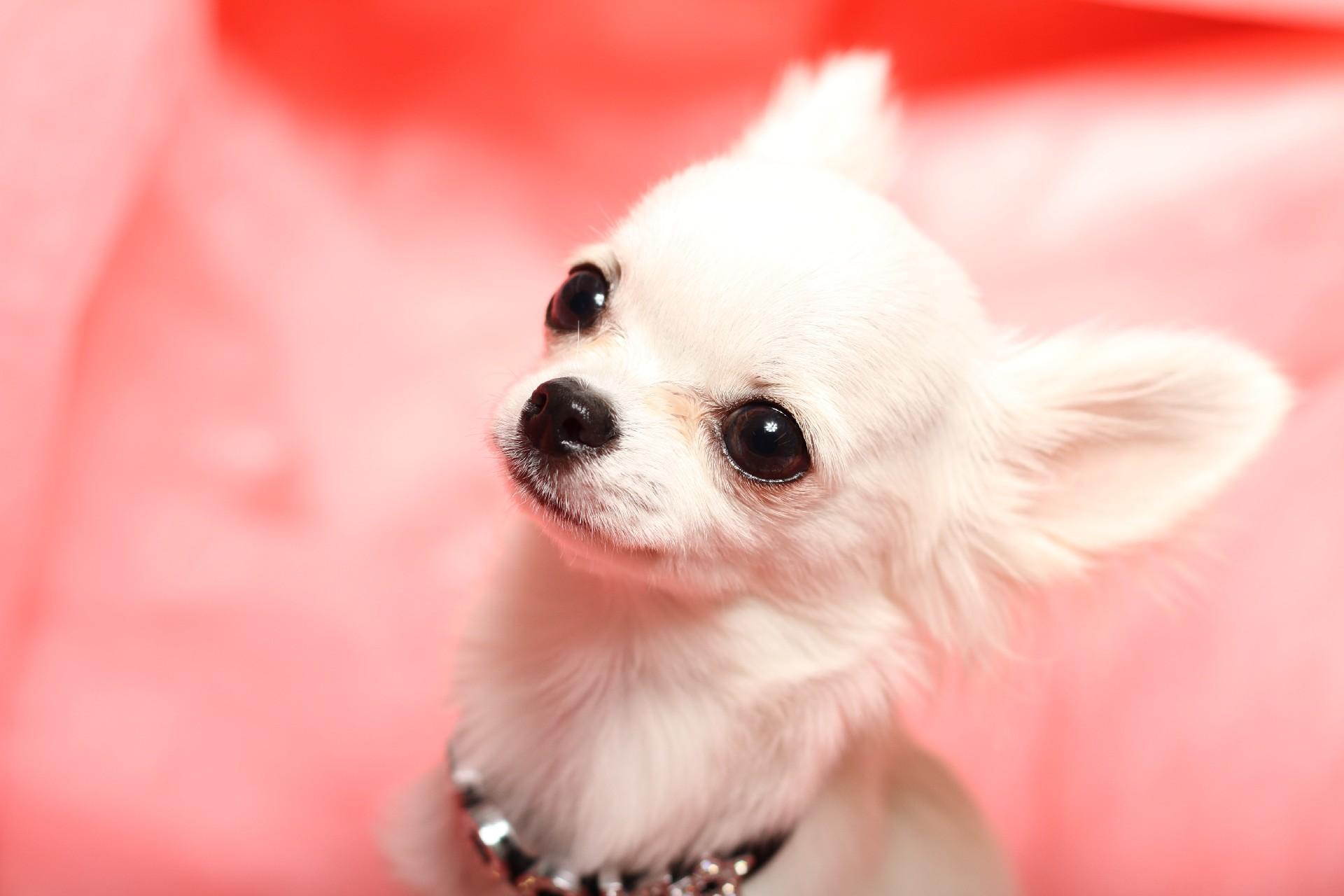 チワワの平均寿命とは?愛犬チワワを長生きさせる方法