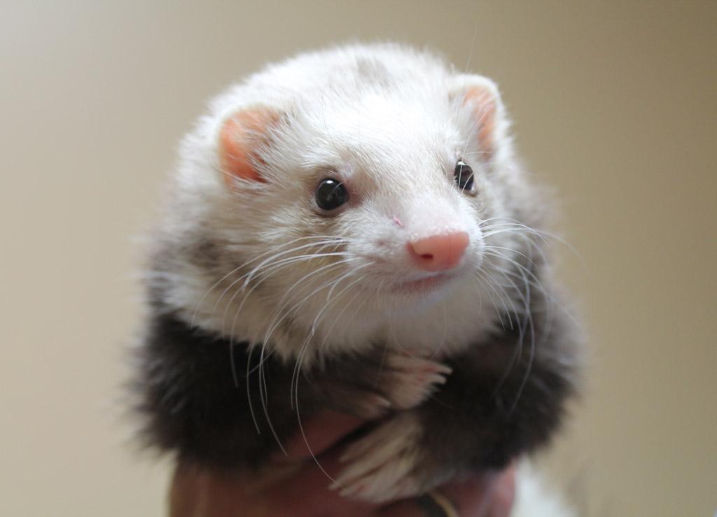 癒しの小動物!胴長短足のフェレットと楽しく暮らす方法