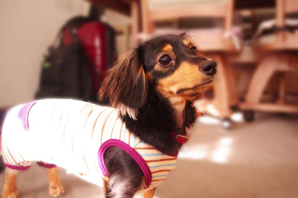 犬に洋服は必要?可愛いだけじゃない服は身を守るアイテム
