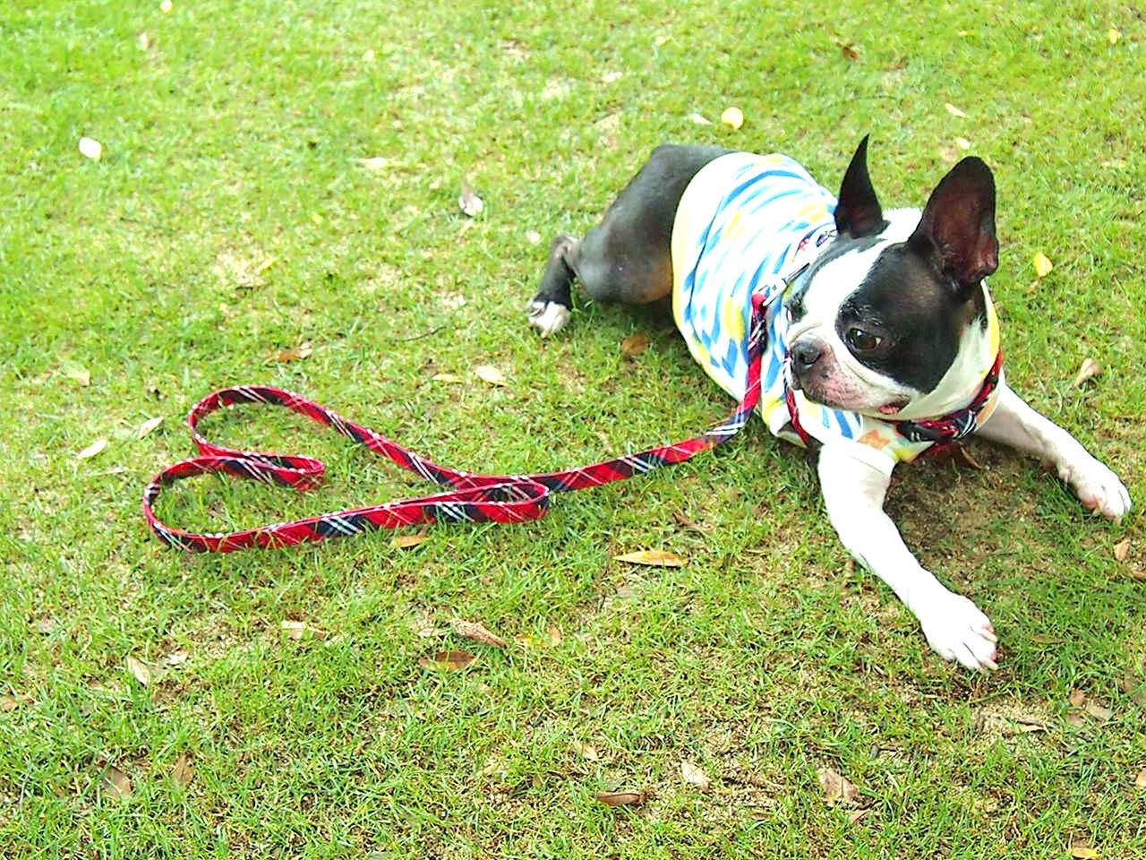 小型犬の気管虚脱防止にはハーネスがおすすめなわけ